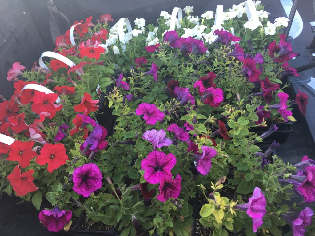 mix color petunias flowers