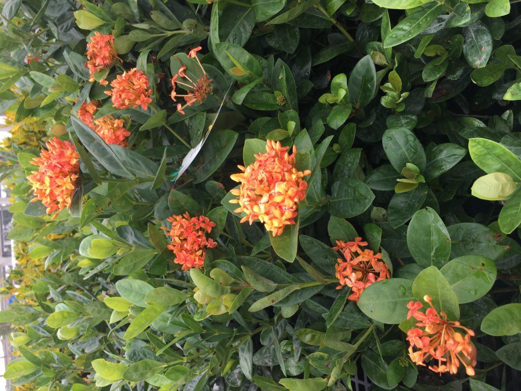 croton, xiora flowers busher for landscape