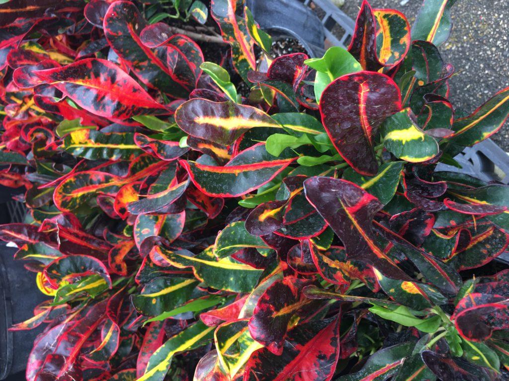 croton, flowers busher for landscape